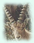 picture: head of an ibex